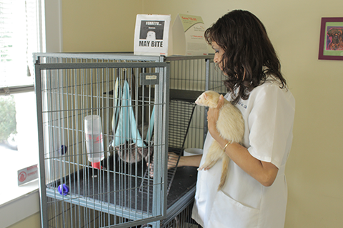 The vet putting her ferret back in their cage
