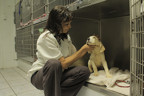 The vet checking a yellow lab puppy who is resting in a kennel
